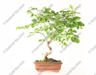 Frêne d'Europe fraxinus sp. bonsaï 45 cm 8 ans ref.21057