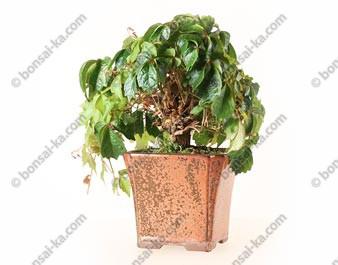 Vigne vierge du Japon parthenocissus tricuspidata bonsaï 28 cm ref.21061