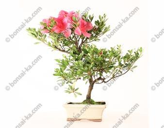 Azalée Rhododendron Indicum bonsaï 38 cm ref.21068