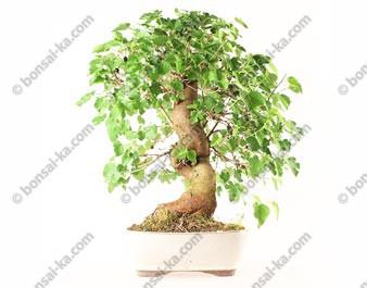 Murier morus sp. bonsaï 54 cm ref.21075