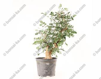 Frêne Oxyphylle fraxinus angustifolia prébonsaï 15 ans 40 cm ref.21090
