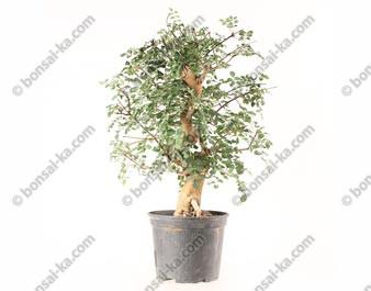 Frêne Oxyphylle fraxinus angustifolia prébonsaï 15 ans 39 cm ref.21095