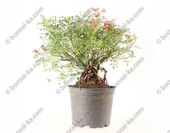 Rosier sauvage rosa sp. prébonsaï 27 cm ref.21100