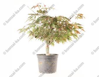 Érable du Japon acer palmatum Suminagashi prébonsaï 38 cm 10 ans ref.20299