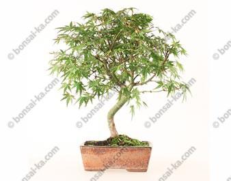 Érable du Japon acer palmatum bonsaï 35 cm 7 ans ref.21050