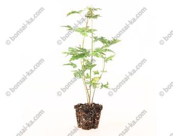 Érable du Japon acer palmatum jeunes plants mini-motte 1 an