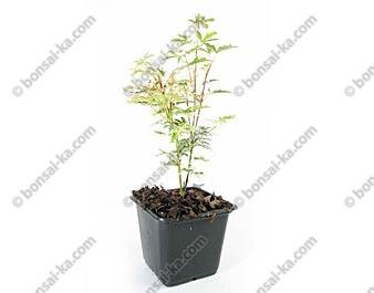 Érable du Japon Butterfly acer palmatum jeune plant 1 an