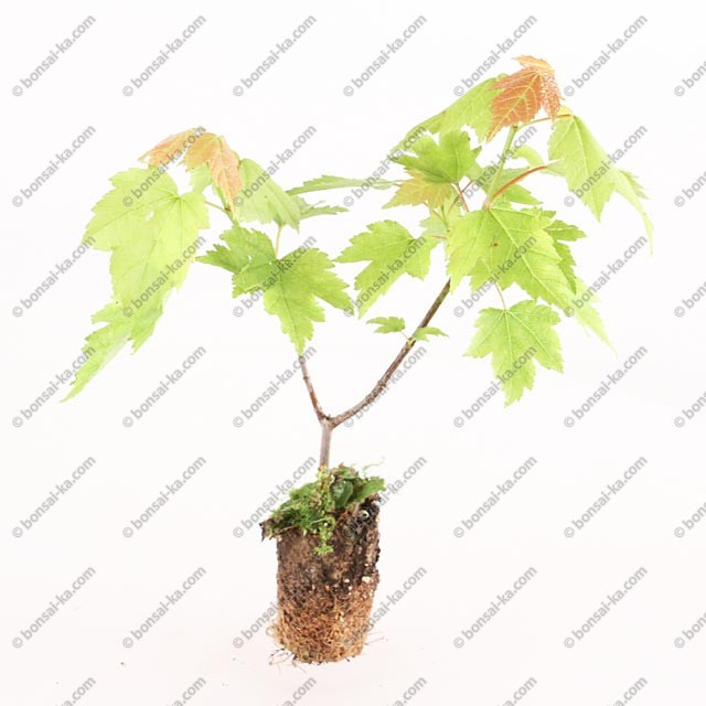 Rable rouge du canada acer rubrum jeune plant 1 an mini motte bonsai ka - Erable rouge du canada ...