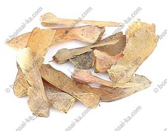 Graines d'érable du Japon Atropurpureum sachet de 10 graines