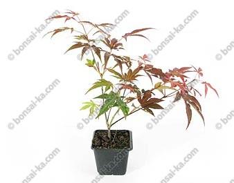 Érable pourpre du Japon Atropurpureum jeune plant 2 ans