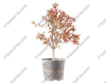Érable du Japon deshojo acer palmatum Shaina prébonsaï 45 cm 10 ans ref.20298