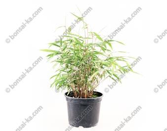 Bambou Fargesia Rufa jeune plant 1 an