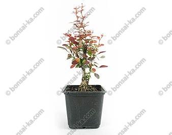 Berberis thunbergii atropurpureum nana jeune plant 2 ans