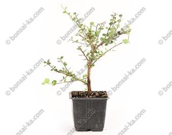 Bouleau nain betula nana jeune plant 2 ans
