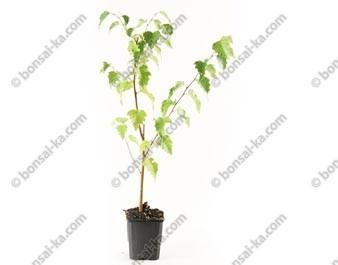 Bouleau blanc betula pendula plant 2 ans