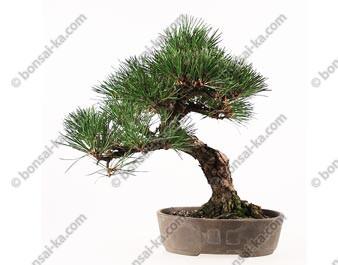 Pin noir du Japon pinus thunbergii Kuro Matsu bonsai 35 cm import Japon 2017 ref.17105
