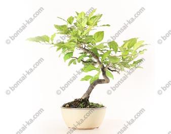Plaqueminier du Japon diospyros kaki bonsaï 32 cm ref. 20115