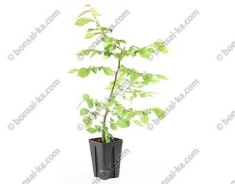 Charme commun carpinus betulus jeune plant 2 ans