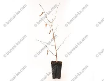 Charme du Japon carpinus japonica jeune plant 2 ans