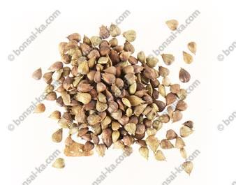 Graines de charme du Japon (carpinus laxiflora) sachet de 300 graines