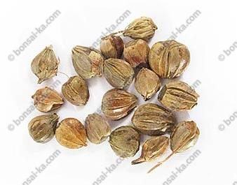 Graines de charme d'orient sachet de 50 graines