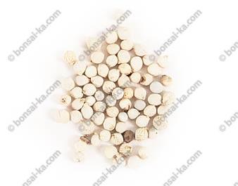 Graines de micocoulier de Chine sachet de 10 graines