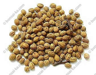 Graines d'aubépine blanche sachet de 100 graines