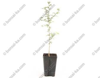 Aubépine blanche crataegus monogyna jeune plant 2 ans