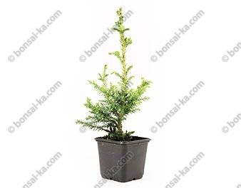 Cèdre du Japon cryptomeria japonica Bandaï Suji jeune plant 2 ans