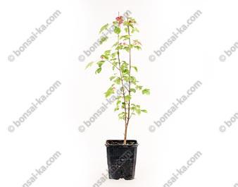 Érable de Burger acer burgerianum jeune plant de 2 ans