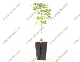 Frêne à fleurs fraxinus ornus jeune plant 2 ans