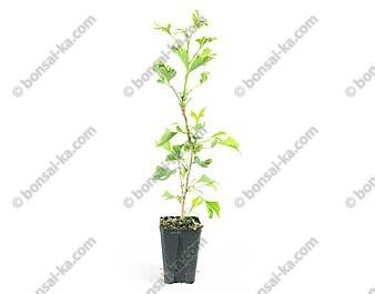 Ginkgo biloba jeune plant de 2 ans