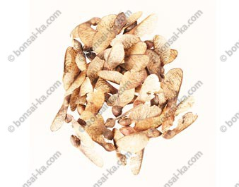 Graines d'érable de Montpellier acer monspessulanum sachet de 75 graines