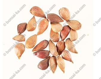 Graines de pommier domestique (malus pumila) sachet de 20 graines