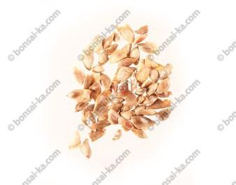 Graines de mélèze du Japon (larix kaempferi) sachet de 100 graines