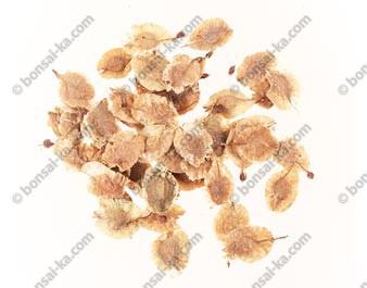 Graines d'orme de Chine (ulmus parvifolia) sachet de 100 graines