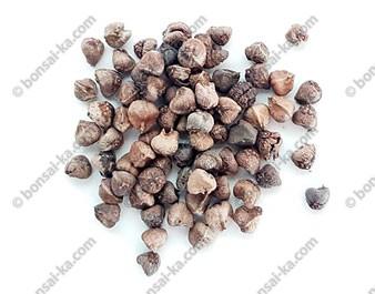 Graines de zelkova du Japon (zelkova serrata) sachet de 50 graines