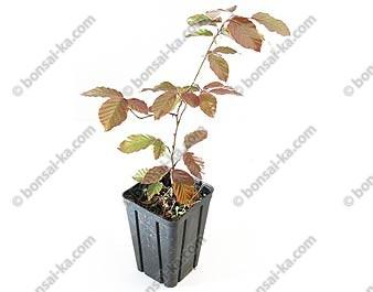 Hêtre pourpre fagus sylvatica purpurea jeune plant 3 ans
