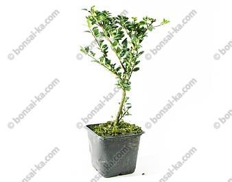 Ilex crenata convexa houx du japon jeune plant de 2 ans