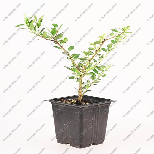 ilex crenata type houx japonais jeune plant de 2 ans bonsai ka. Black Bedroom Furniture Sets. Home Design Ideas
