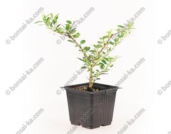 Ilex crenata type houx japonais jeune plant de 2 ans