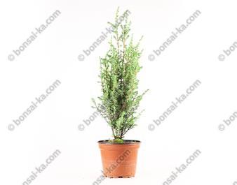 """Genévrier commun juniperus communis """"Sentinel"""" jeune plant 3 ans"""