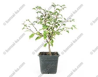Prunus incisa kojo no mai jeune plant de 2 ans