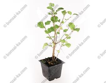 "Lilas de Chine syringa microphylla ""Jose"" plant de 2 ans"