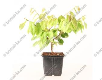 Loropetalum chinensis jeune plant de 2 ans