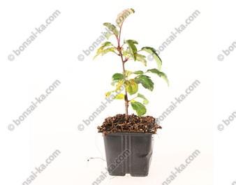 Pommier sauvage malus Toringo jeune plant de 1 an
