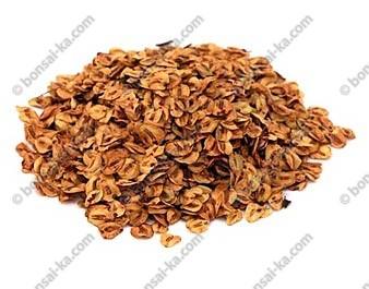 Graines de sequoia de Chine sachet de 50 graines