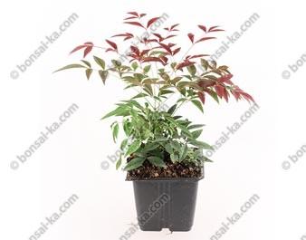 Bambou céleste nandina domestica Flirt Murasaki jeune plant 1 an