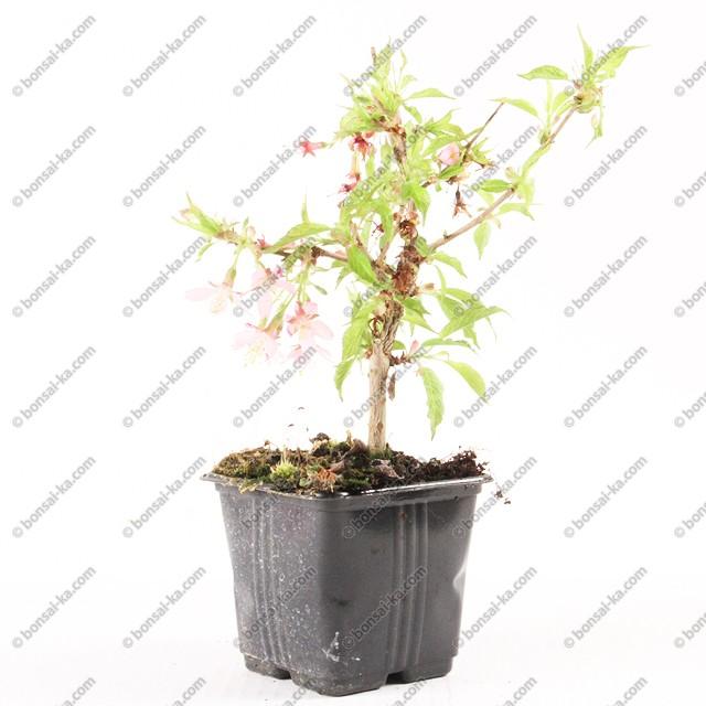 cerisier du japon prunus serrulata accolade jeune plant 2. Black Bedroom Furniture Sets. Home Design Ideas