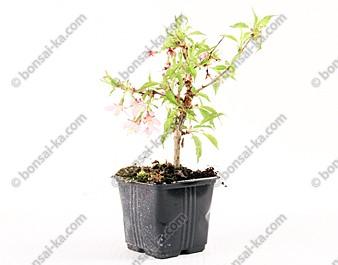Cerisier à fleurs prunus Okame jeune plant 2 ans